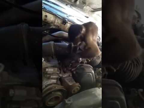 المغرب اليوم  - شاهد قرد يعمل بمهنة ميكانيكي في عرعرة النقب في فلسطين