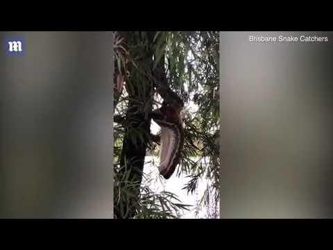 بالفيديو ثعبان ضخم يبتلع حيوان بوسوم بالكامل