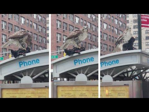 شاهد صقر يلتهم حمامة حية في شارع مزدحم في مانهاتن