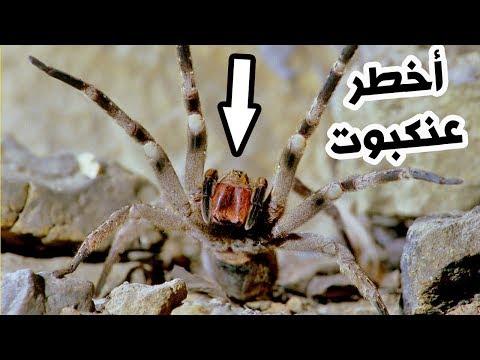 شاهدأخطر 3 عناكب سامة في العالم