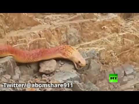 ثعبان ضخم يُثير ضجة في السعودية