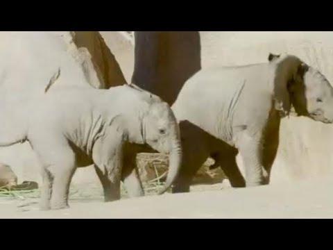 صغيران مِن الفيلة يلعبان بحديقة حيوان في كاليفورنيا