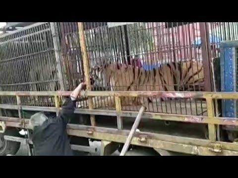 circus tiger bites mans hand