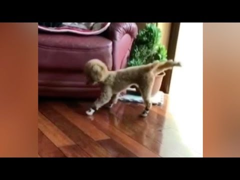poodle doesnt know how to walk