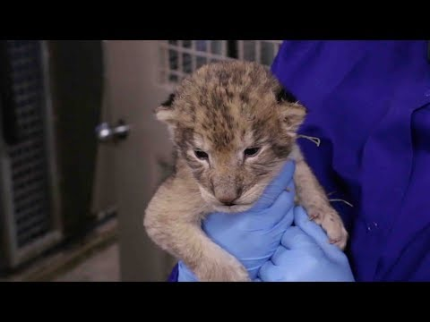 cute alert iowa zoos lion cubs