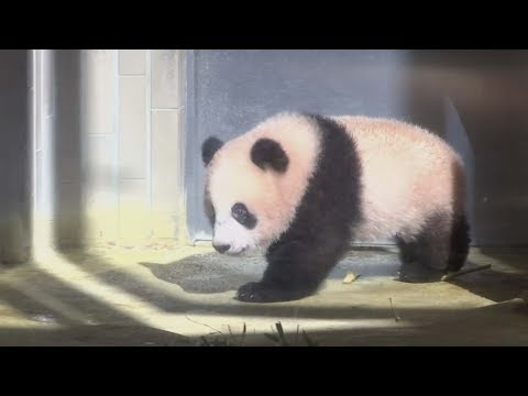 japan's baby panda makes first appearance