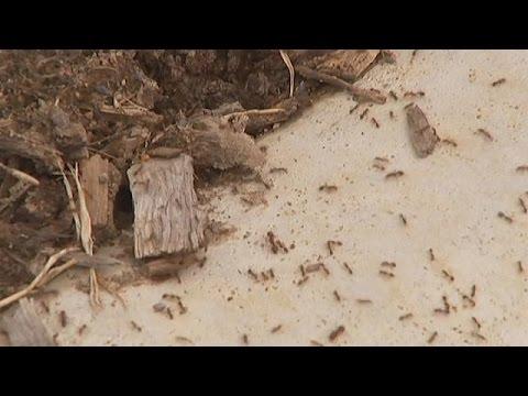 المغرب اليوم  - شاهد جيوش من النمل القاتل تجتاح أستراليا