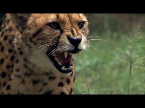 المغرب اليوم  - شاهد  حماية آخر الفهود المهددة بالانقراض