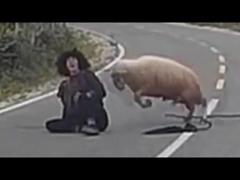 المغرب اليوم  - خروف غاضب يضرب الراعى على الطريق العام