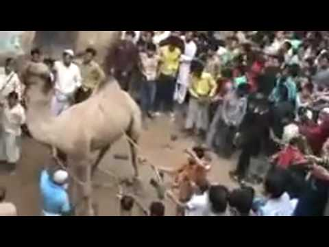 المغرب اليوم  - شاهد معافرة جمل أثناء عملية ذبحه