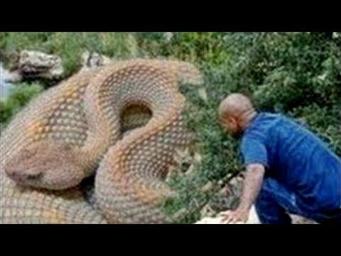 المغرب اليوم  - شاهد الثعابين الخمس الأكبر حجمًا في العالم