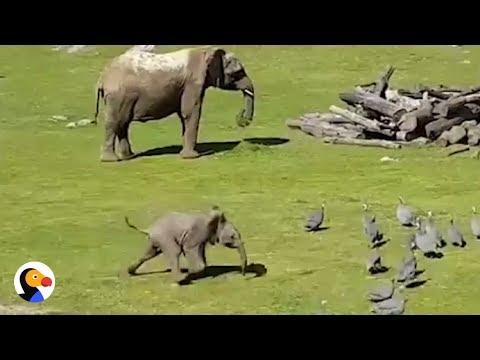 المغرب اليوم  - شاهد فيل صغير يطارد الطيور كالأطفال