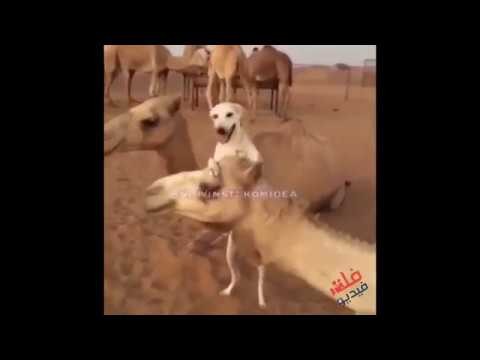 المغرب اليوم  - شاهد كلب يلعب دور راع للإبل باحترافية