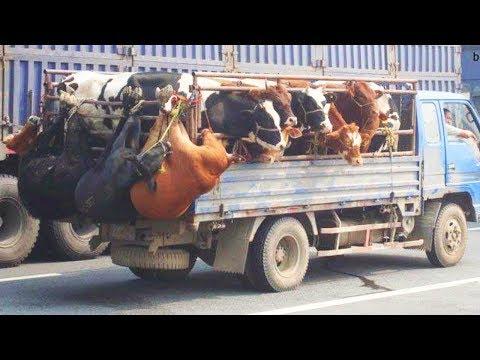 المغرب اليوم  - شاهد الفرق ما بين نقل البقرة الحديثة بالتكنولوجيا والات نقل بدائية