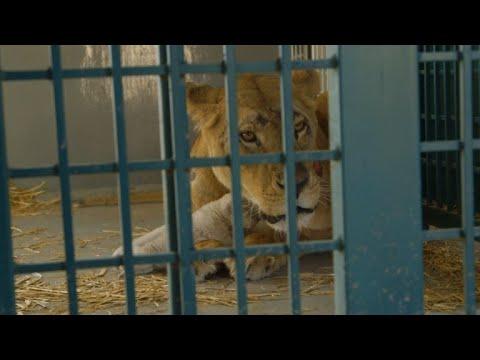 المغرب اليوم  - شاهد لبوة كانت في حديقة حيوان حلب أنجبت شبلا في الأردن
