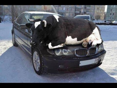 المغرب اليوم  - شاهد أغرب طرائف السيارات مع الحيوانات