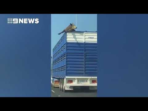 المغرب اليوم  - محاولة هروب بقرة من شاحنة على طريق سريع