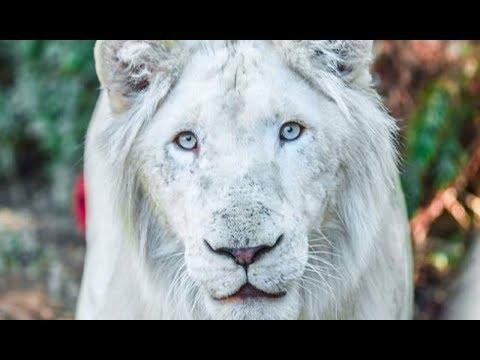 شاهد أسد أبيض نادر في حديقة الحيوانات في الرباط للمرة الأولى