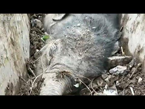 إنقاذ فیل صغیر عالق في قناة تصریف جنوب الصین