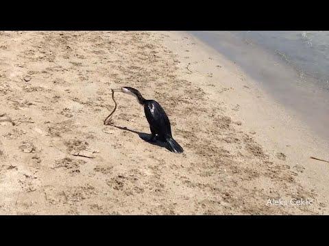 بالفيديو معركة قاتلة بين ثعبان وطائر يحاول بلعه
