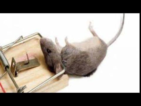 الوصفة العملاقة والفعالة جدا ل التخلص من الفئران في المنزل بطريقة صحيحه