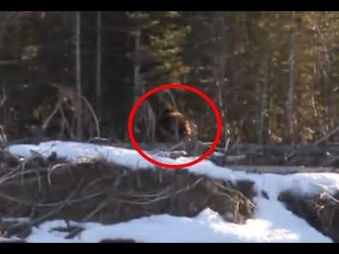 شاهد «بيغ فوت» يتجول في غابات كندية