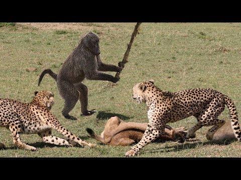 شاهد قرود مدهشة تلعب دور البطل لتساعد الحيوانات