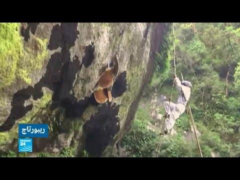 شاهد أبناء قبيلة غورونغ النيبالية يخاطرون بحياتهم لجني العسل