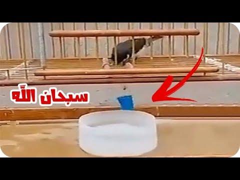 شاهد ذكاء العصفور في شرب الماء مع أسامة الدغيري