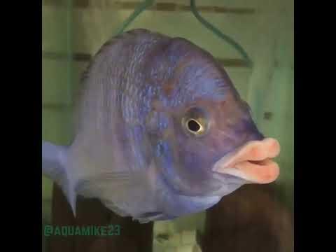 شفتان مثيرتان لسمكة تسببان جدلًا على مواقع التواصل