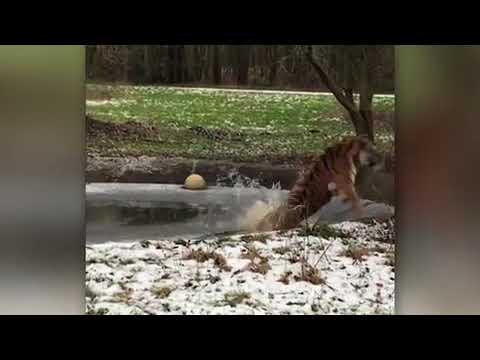بالفيديو أنثى نمر تفقد أعصابها