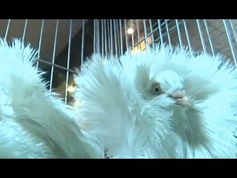 طيور ملونة تتألق في مسابقة جمال للحمام