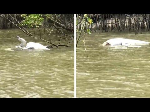 مشهد مرعب لتمساح يأكل آخر ويقسمه إلى نصفين