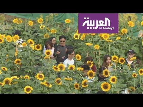 متاهات برائحة زهور عباد الشمس في الفلبين