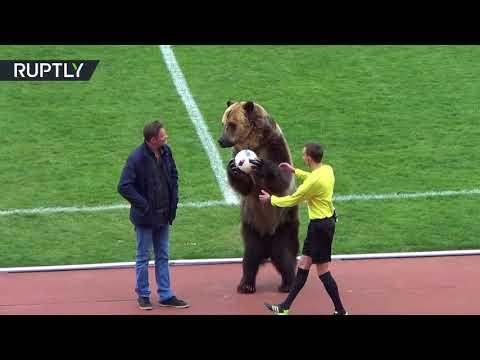 شاهد مشهد طريف لدب يعطي إشارة انطلاق إحدى مباريات الدوري الروسي