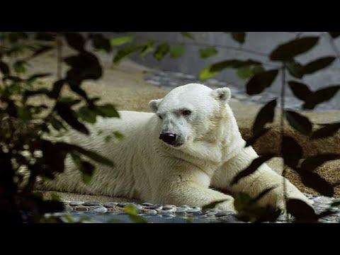 وفاة أول دب قطبي يولد في مناخ مداري