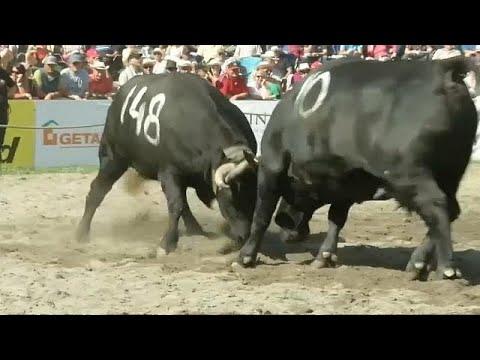 شاهد قتال الأبقار بمقاطعة فاليه السويسرية للتتويج بلقب المملكة