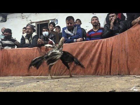 شاهد صراع الديكة ينتشر في مناطق الأكراد شمال سورية