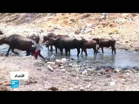 شاهد معانات الماشية ضحية الجفاف في جنوب العراق
