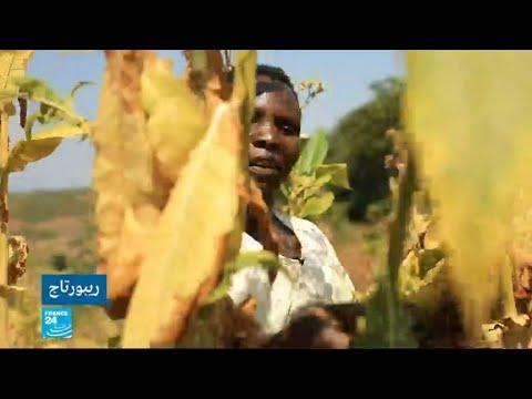 شاهد أطفال يتعرضون لأمراض خطيرة بسبب زراعة التبغ في ملاوي