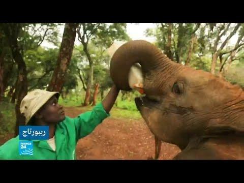 فيلة أفريقيا الوسطى مهددة بالاختفاء كليا من الكوكب خلال عشر سنوات