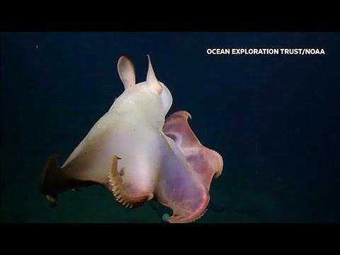 أخطبوط نادر يشبه دومبو ويثير دهشة العلماء