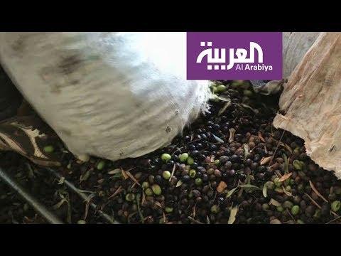شاهد 10 ملايين شجرة زيتون في الأردن