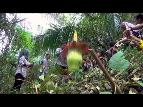 تفتح زهرة تيتانيوم عملاقة في إحدى مزارع إندونيسيا