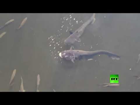 أسماك عملاقة مُعدَّلة وراثيًا تُثير الرعب في تشيرنوبل