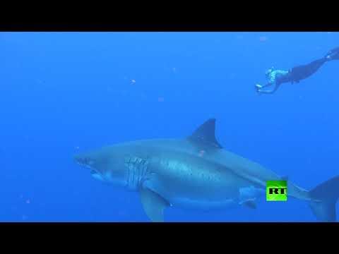 باحثان يسبحان مع أضخم سمكة قرش أبيض