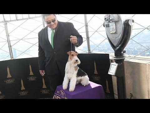 شاهد كينغ يربح جائزة أفضل كلب في مسابقة ويستمنستر