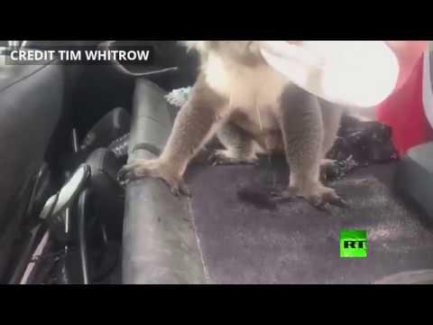شاهد حيوان كوالا يقتحم سيارة أسترالي ليستمتع ببرودة المكيف
