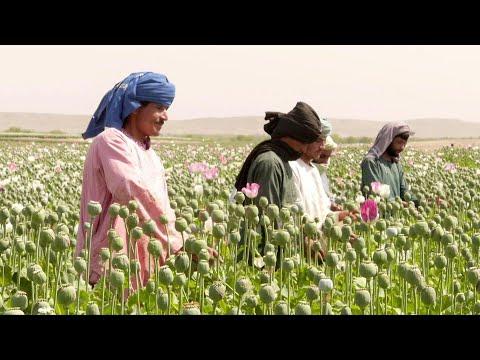 شاهد الخشخاش يزهر من جديد في مزارع أفغانستان