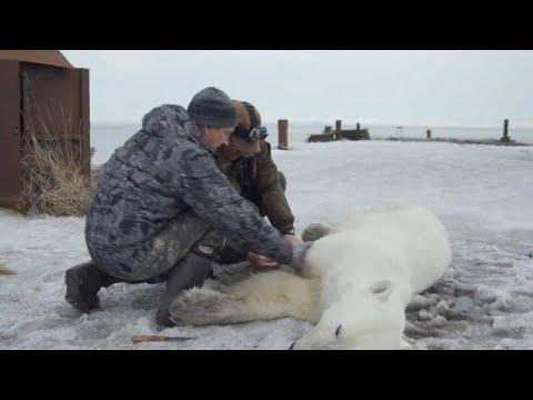 شاهد السيطرة على دب قطبي تقطعت به السبل في روسيا